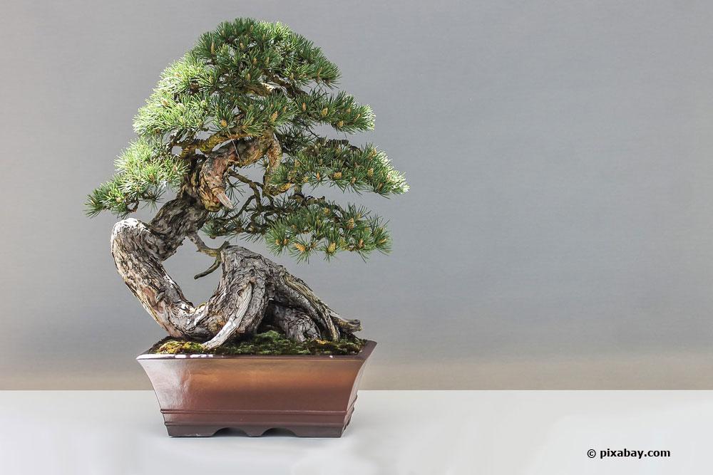 Kiefer Bonsai schneiden