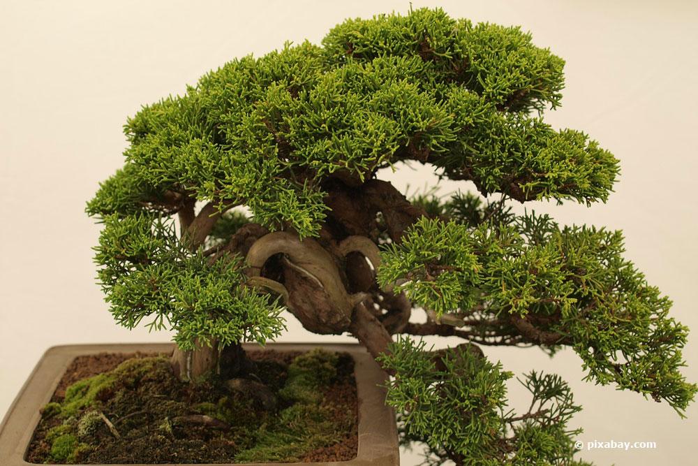 bonsai schneiden mit 6 schnitten zur asiatischen gartenkunst