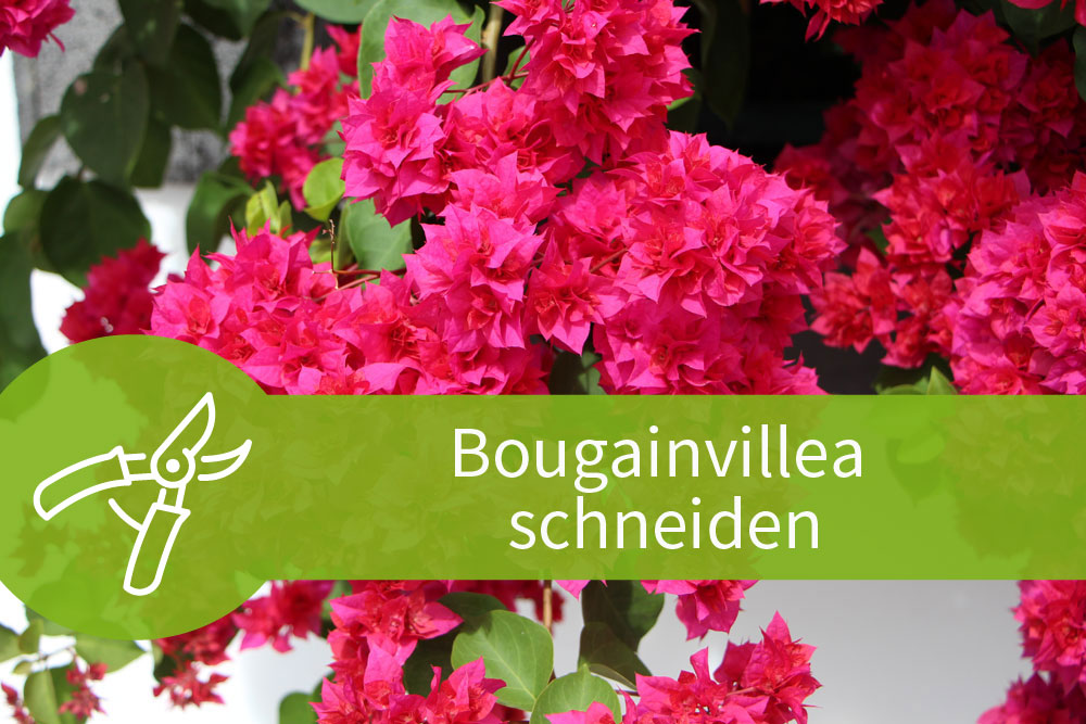 Bougainvillea schneiden