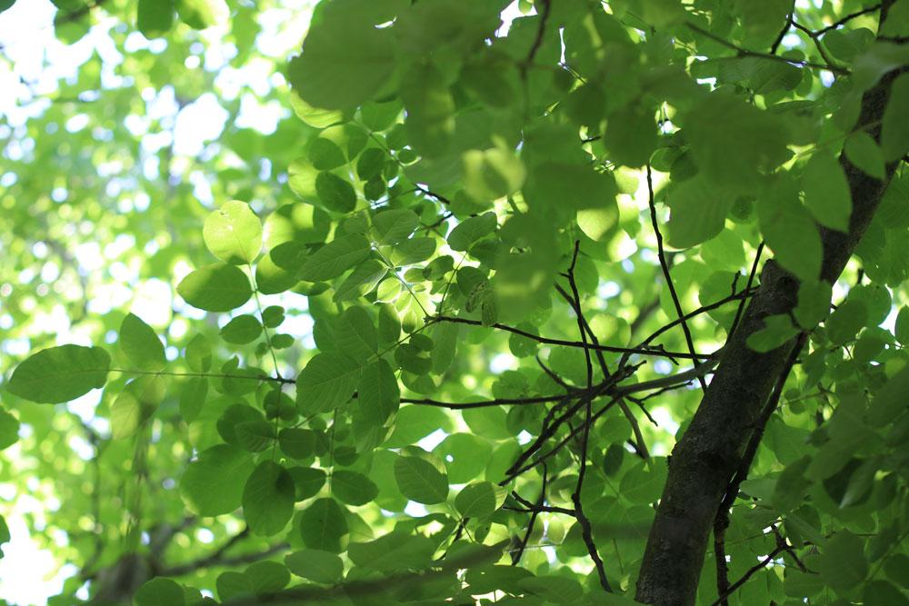 Der Zeitpunkt zum Walnussbaum schneiden wird hier erklärt