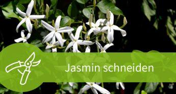 Jasmin schneiden