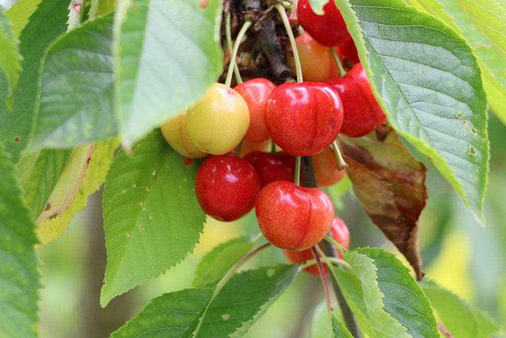 Kirschbaum im Herbst radikal schneiden