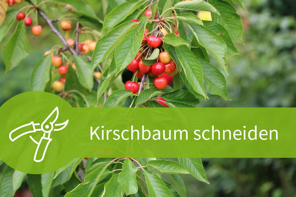 Kirschbaum schneiden – 4 Schnitttechniken für 2 Sorten