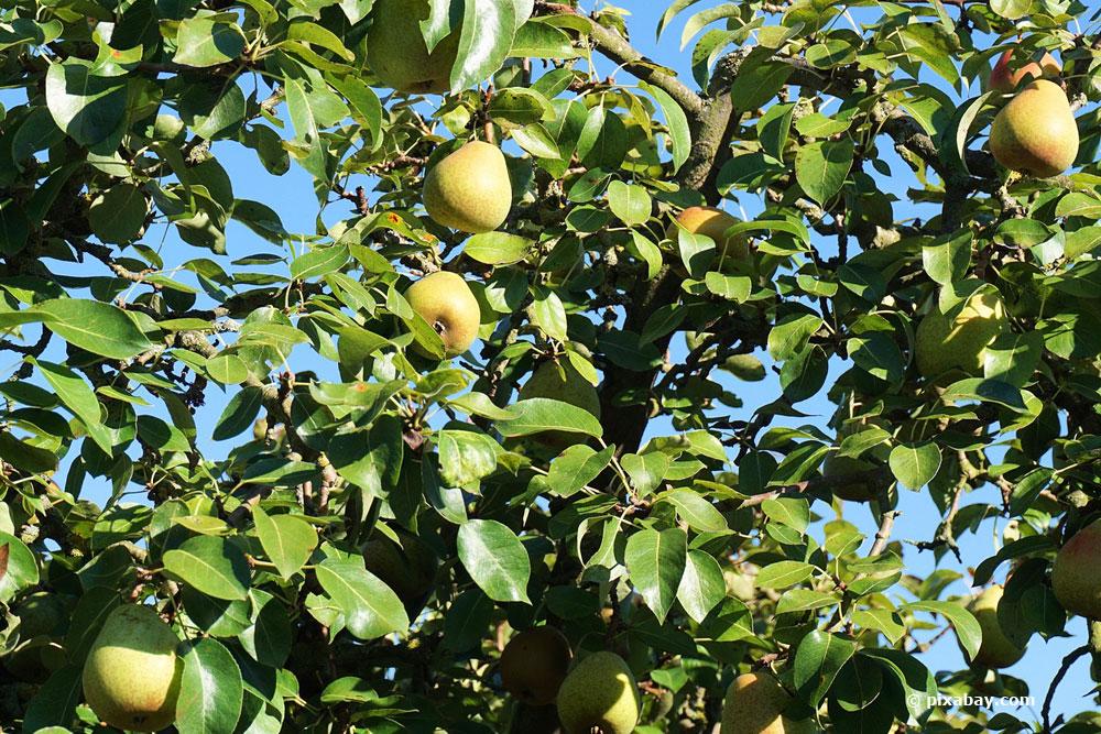 Obstbaumschnitt im Sommer