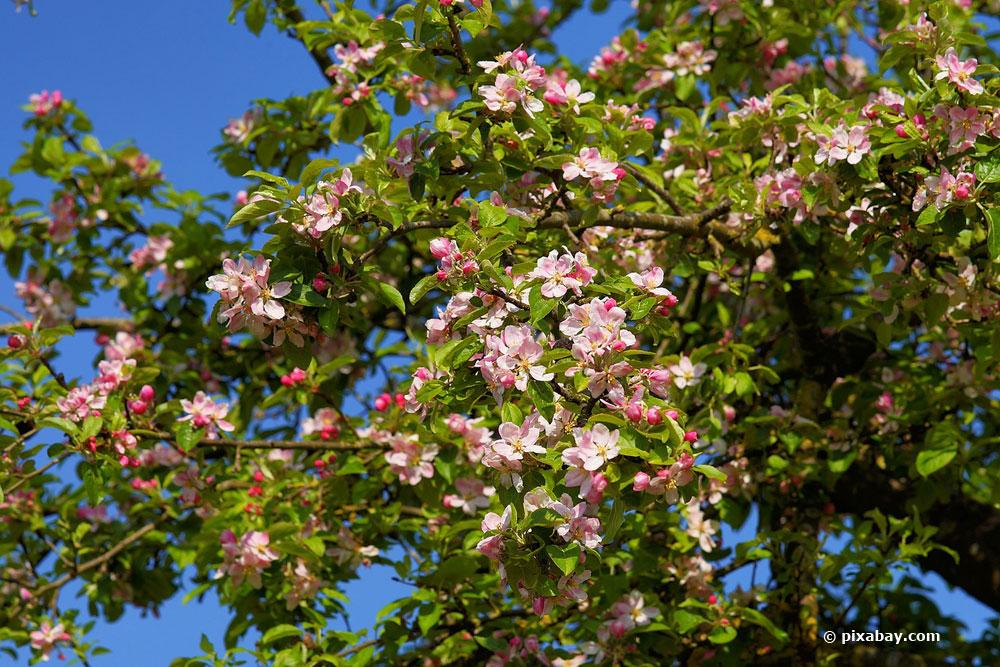 Obstbaumschnitt im Frühjahr