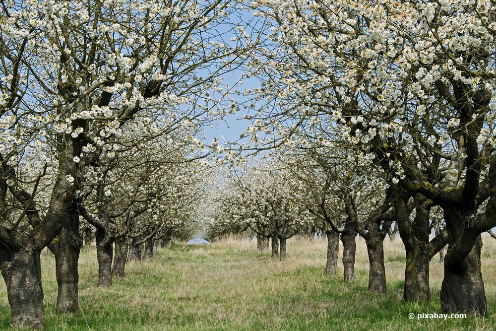 wann und wie oft ein Obstbaumschnitt nötig ist zeigen wir ihnen