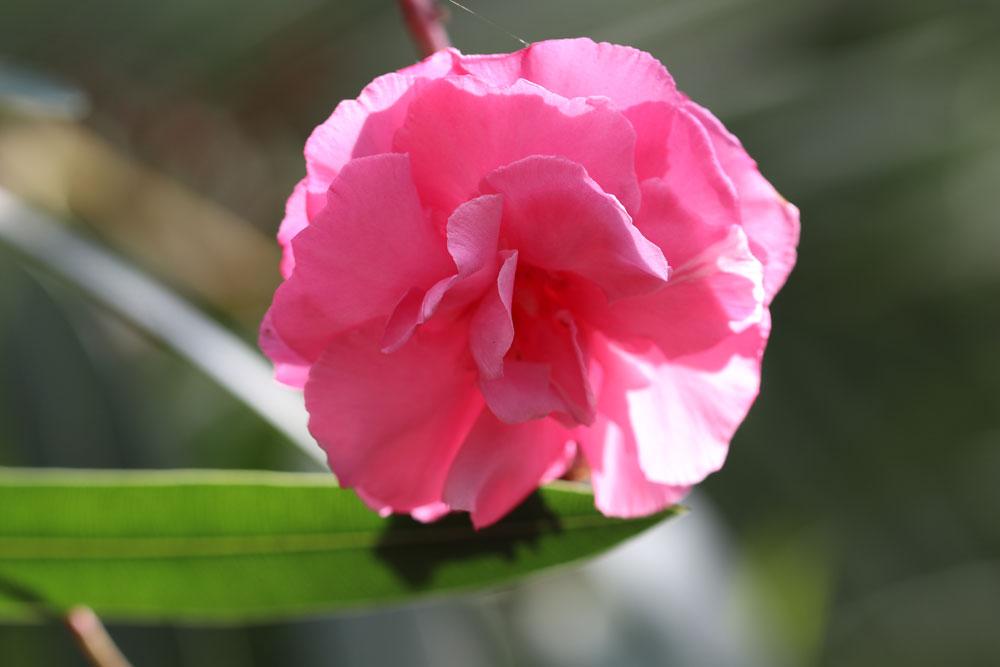 Wann Oleander schneiden? Wir zeigen es ihnen