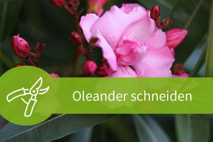 oleander schneiden der richtige schnitt zur richtigen zeit pflanzen schneiden. Black Bedroom Furniture Sets. Home Design Ideas
