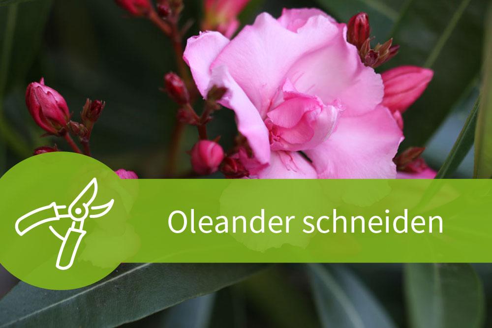 oleander schneiden der richtige schnitt zur richtigen zeit. Black Bedroom Furniture Sets. Home Design Ideas