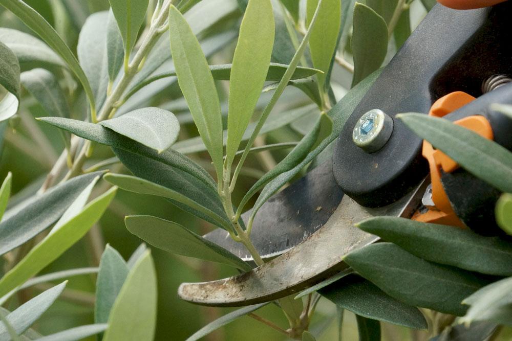 Erhaltungsschnitt für den Olivenbaum
