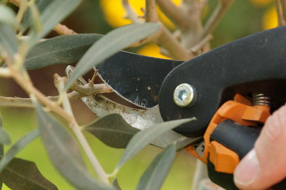 Olivenbaum zurückschneiden