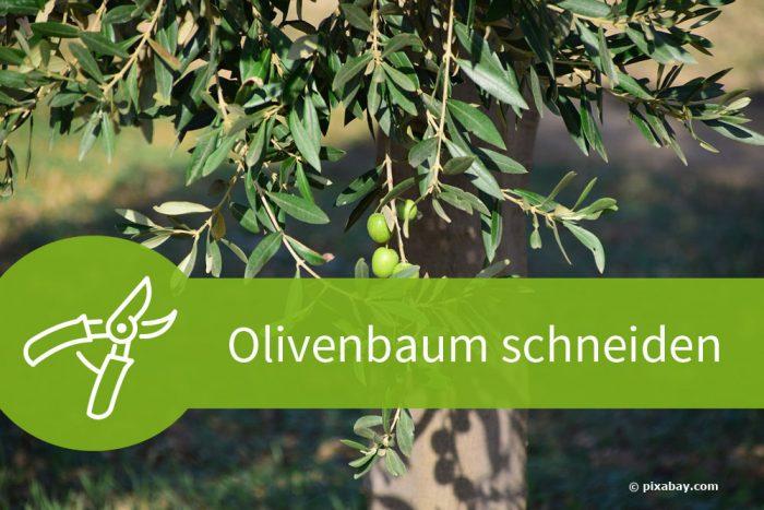 Anleitung zum Olivenbaum schneiden