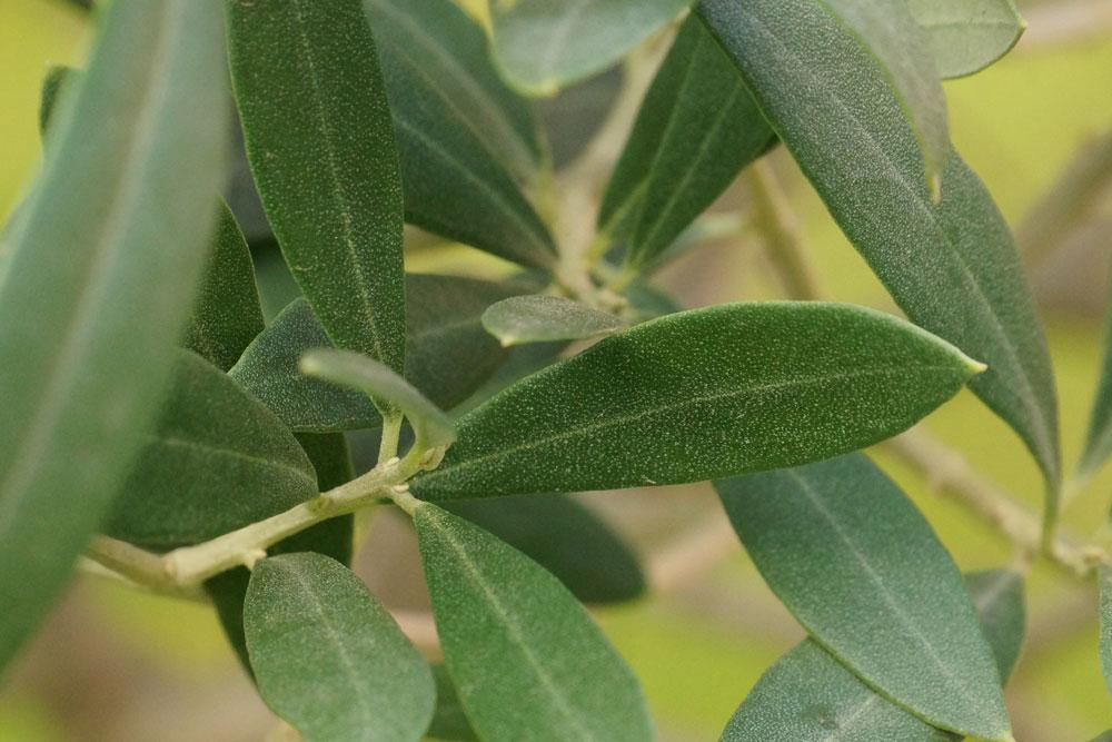 Formschnitt für den Olivenbaum