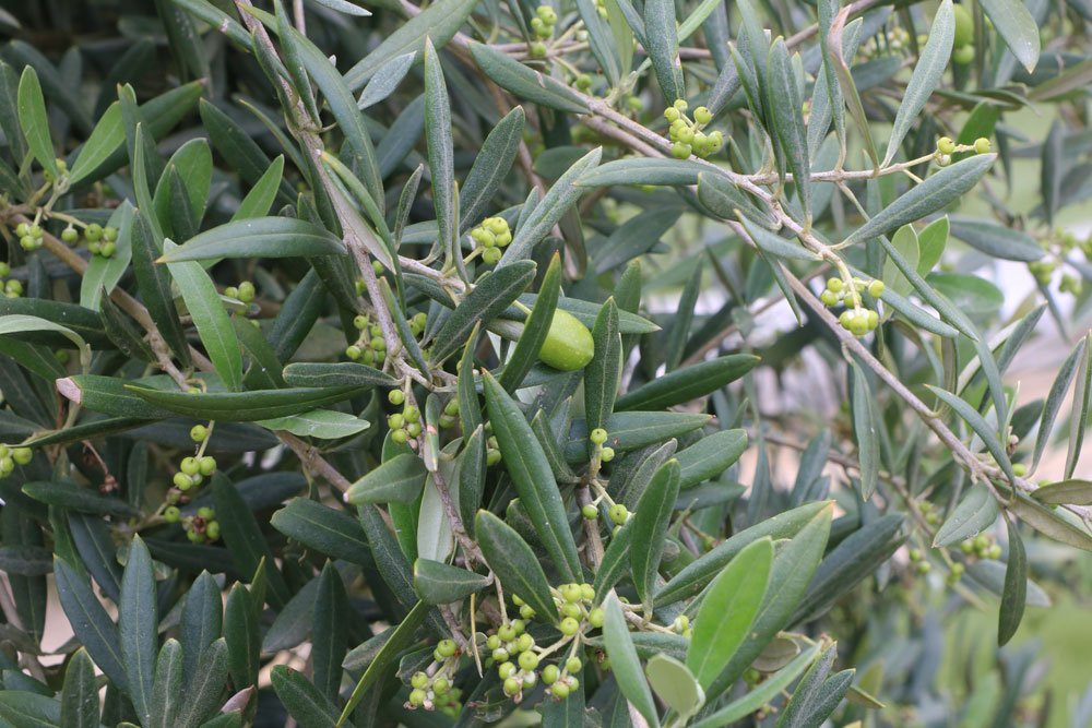 Anleitungen für den Rückschnitt beim Olivenabum
