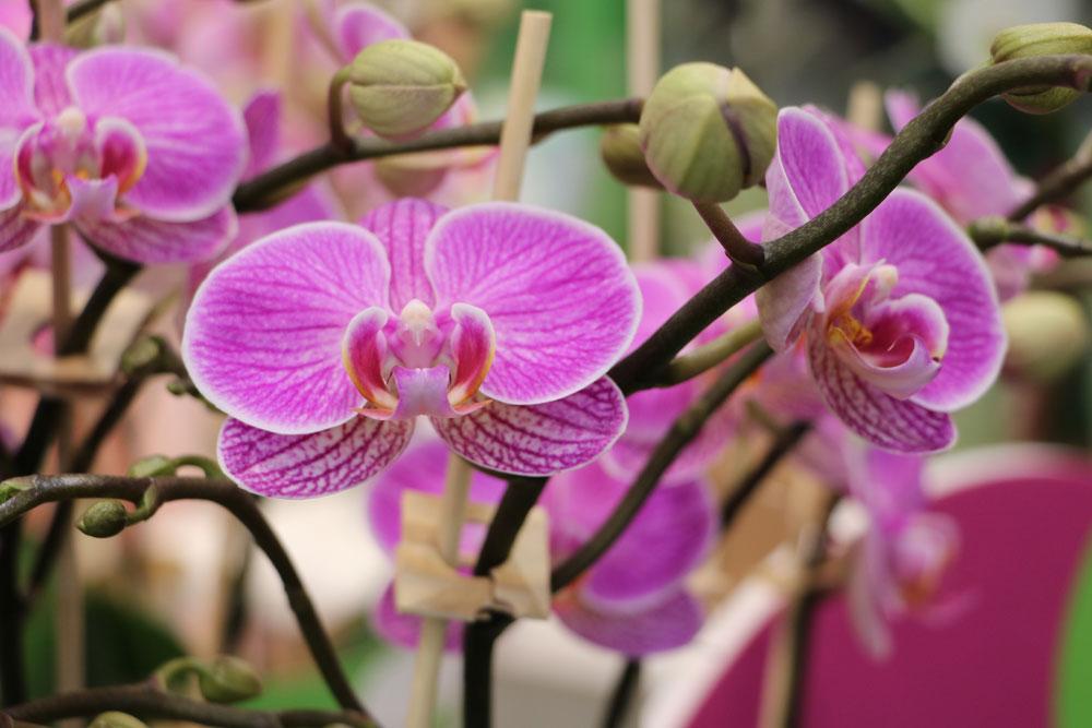 Anleitung zum Orchideen schneiden