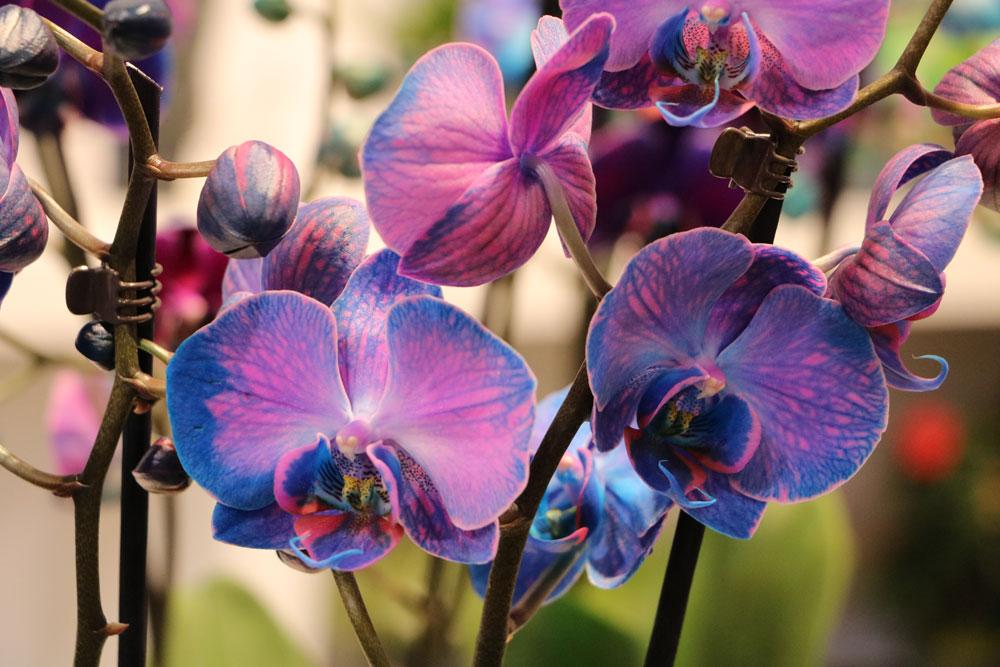 Der Zeitpunkt zum Orchideen schneiden ist individuell