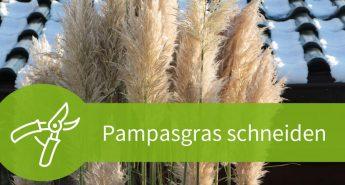 Pampasgras schneiden – Worauf beim Rückschnitt zu achten ist