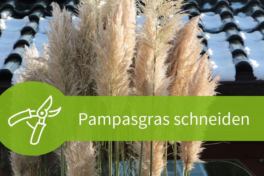 Pampasgras schneiden