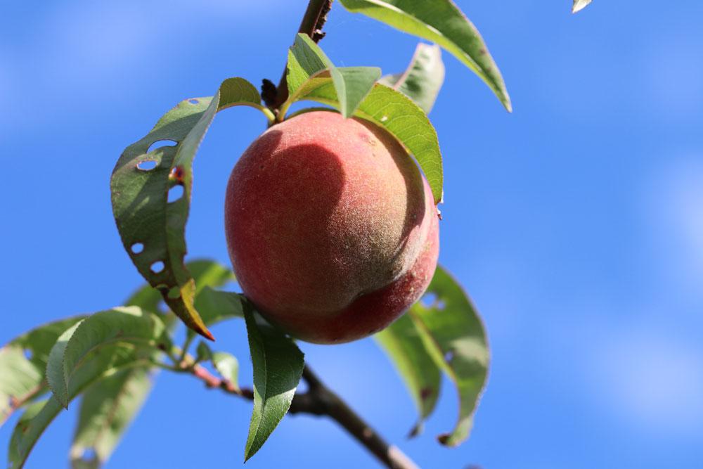 Pfirsichbäume benötigen einen Rückschnitt