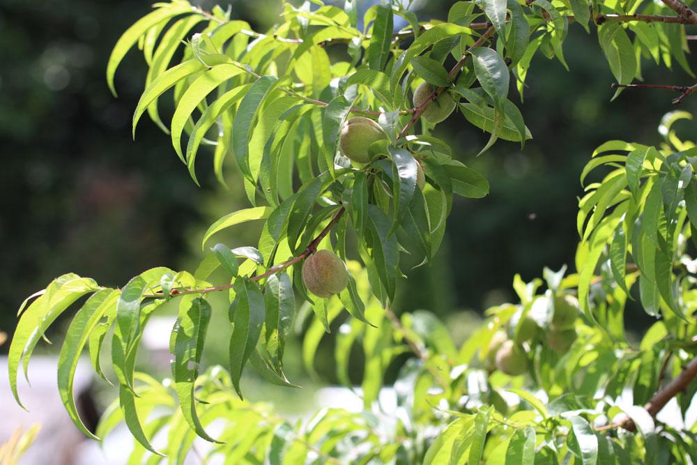 Pfirsichbaum nach dem Frost schneiden