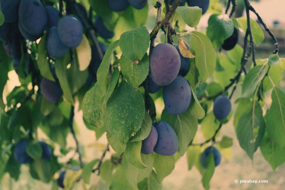 Anleitung zum Pflaumenbaum schneiden