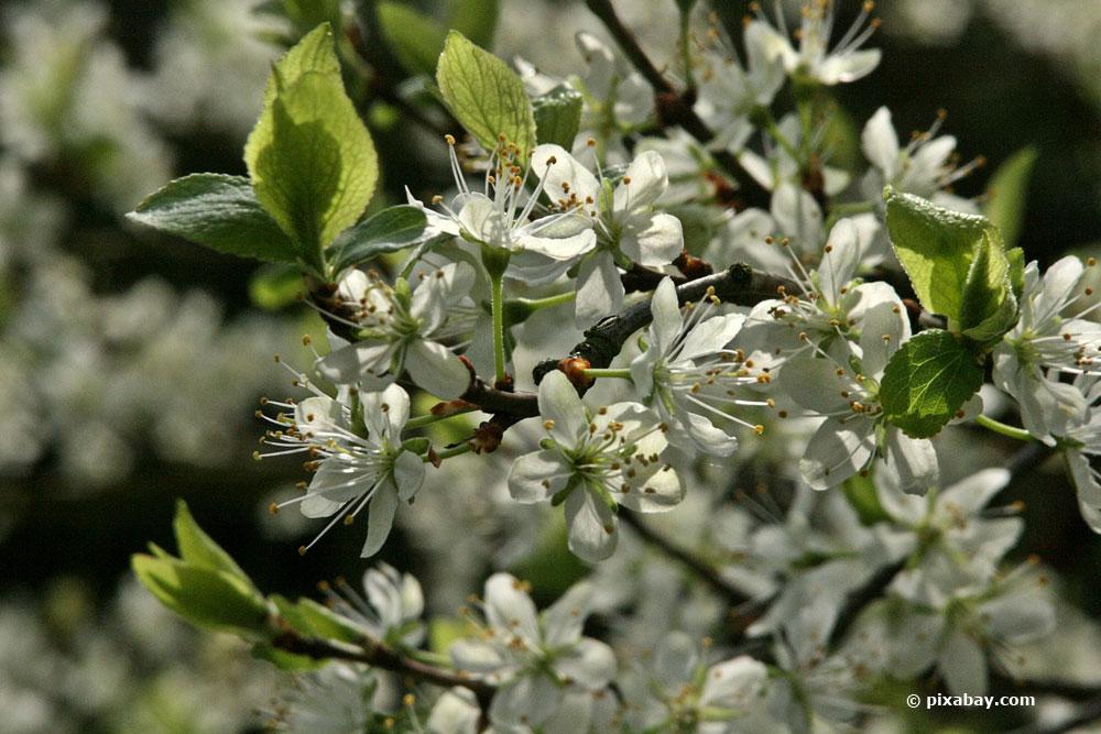 Pflaumenbaum im Sommer schneiden