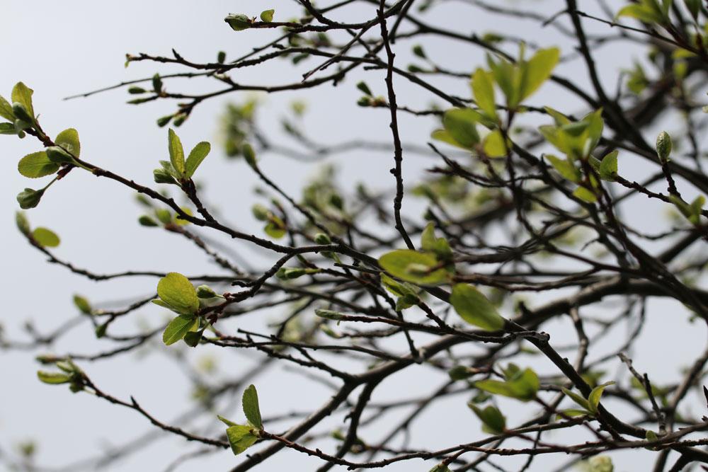 Wann der Pflaumenbaum zu schneiden ist zeigen wir ihnen