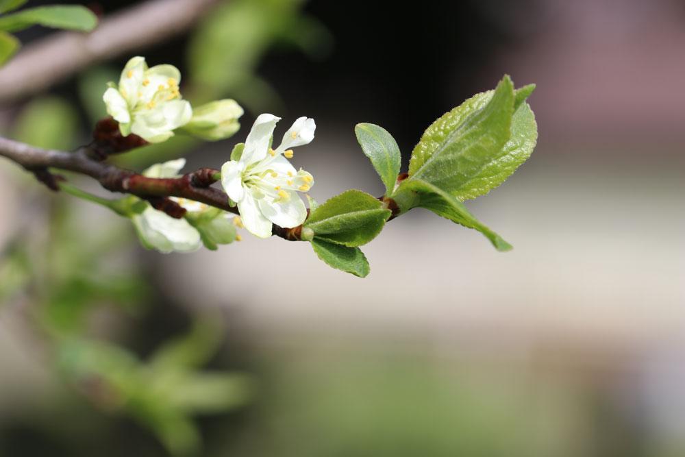 alten Pflaumenbaum schneiden
