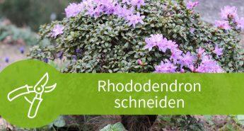 Rhododendron schneiden
