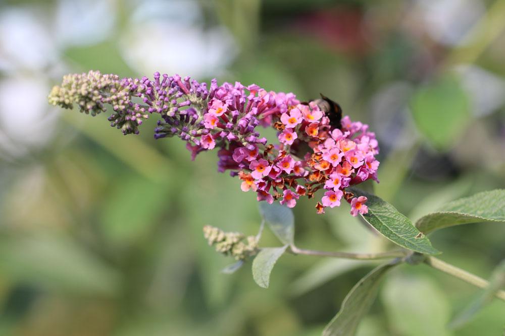 Der Schmetterlingsflieder ist eine Art der Gattung Sommerflieder