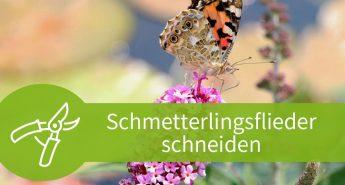Schmetterlingsflieder schneiden