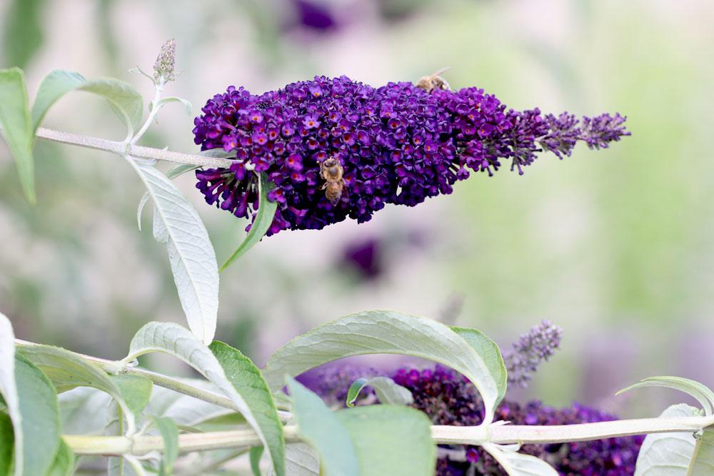 Wir haben für Sie eine Anleitung zum schneiden des Schmetterlingsflieders