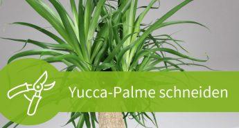 Yucca-Palme schneiden