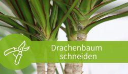 Drachenbaum schneiden