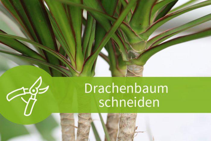drachenbaum schneiden anleitungen zum k rzen und vermehren. Black Bedroom Furniture Sets. Home Design Ideas