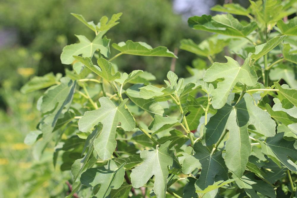 Feigenbaum im Herbst schneiden