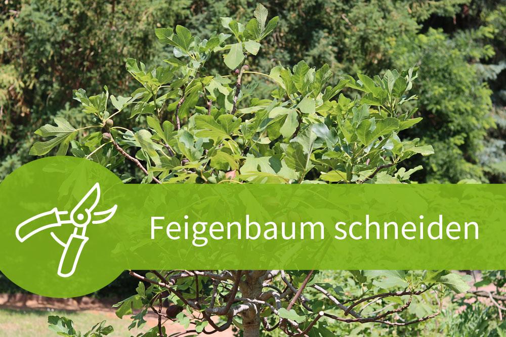 Feigenbaum schneiden