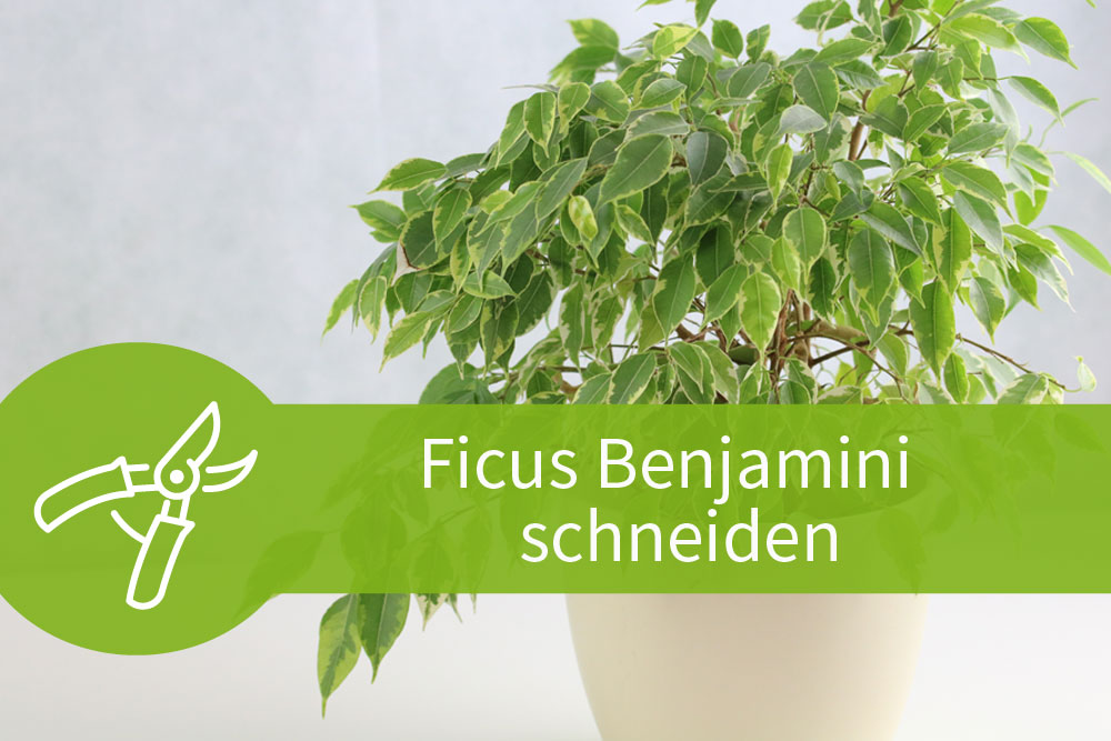 ficus benjamini schneiden 2 anleitungen zum formschnitt. Black Bedroom Furniture Sets. Home Design Ideas