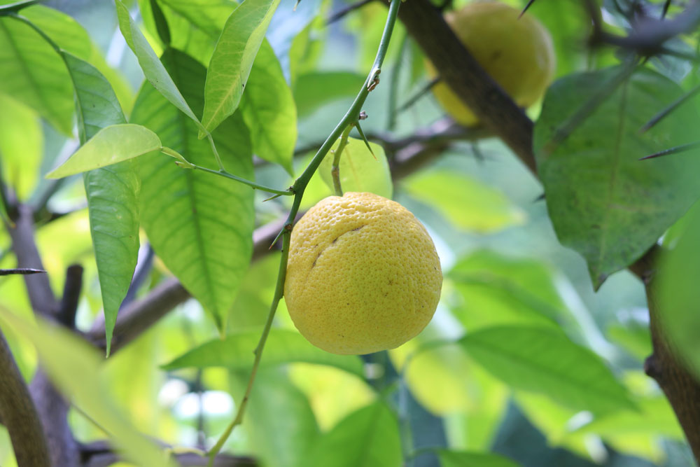 Anleitung zum Zitronenbaum schneiden