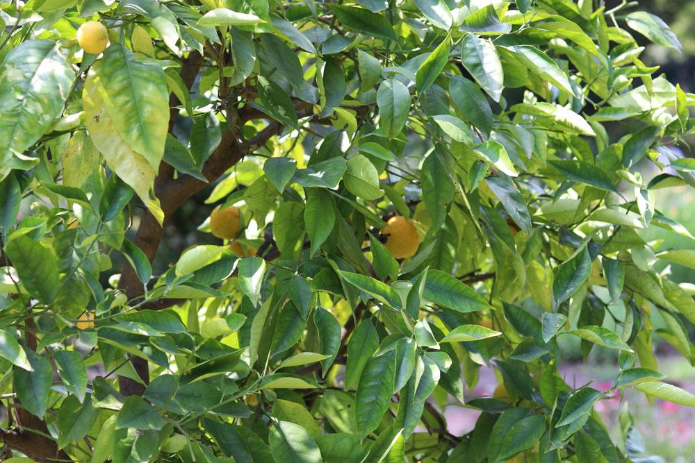 Verjüngungsschnitt beim Zitronenbaum