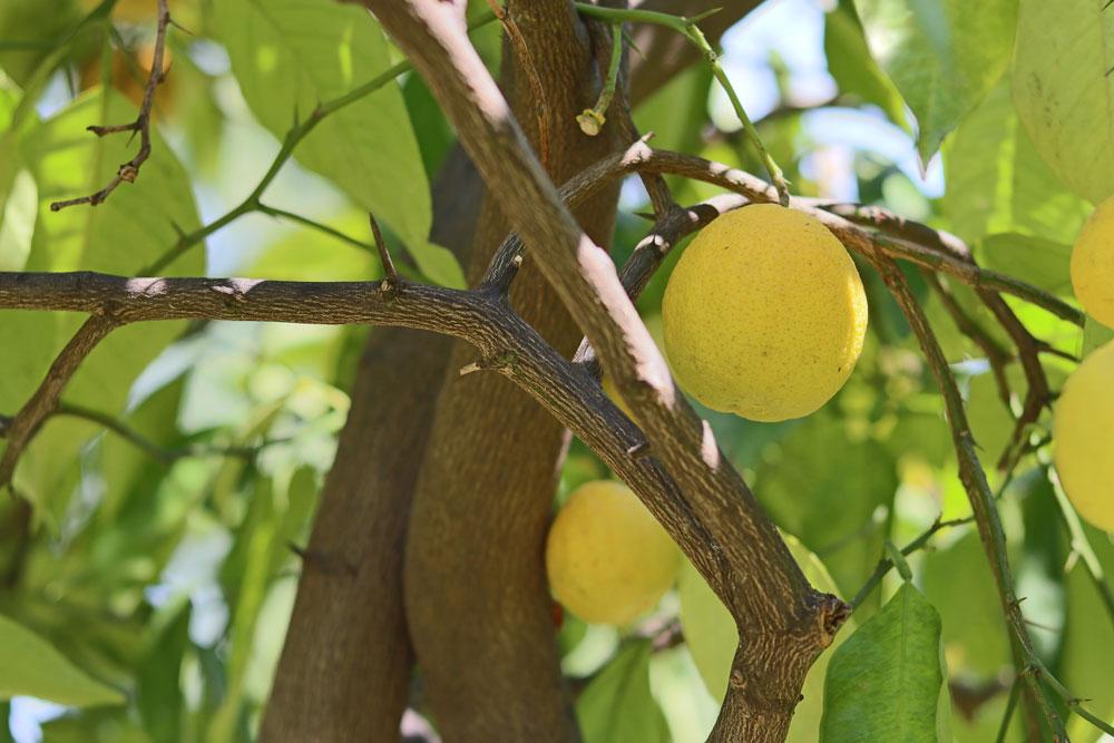 Wann Zitronenbaum schneiden? Wir zeigen es