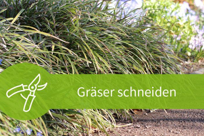 Zebragras Zurückschneiden gräser schneiden mit dem frühjahrsschnitt zum erfolg