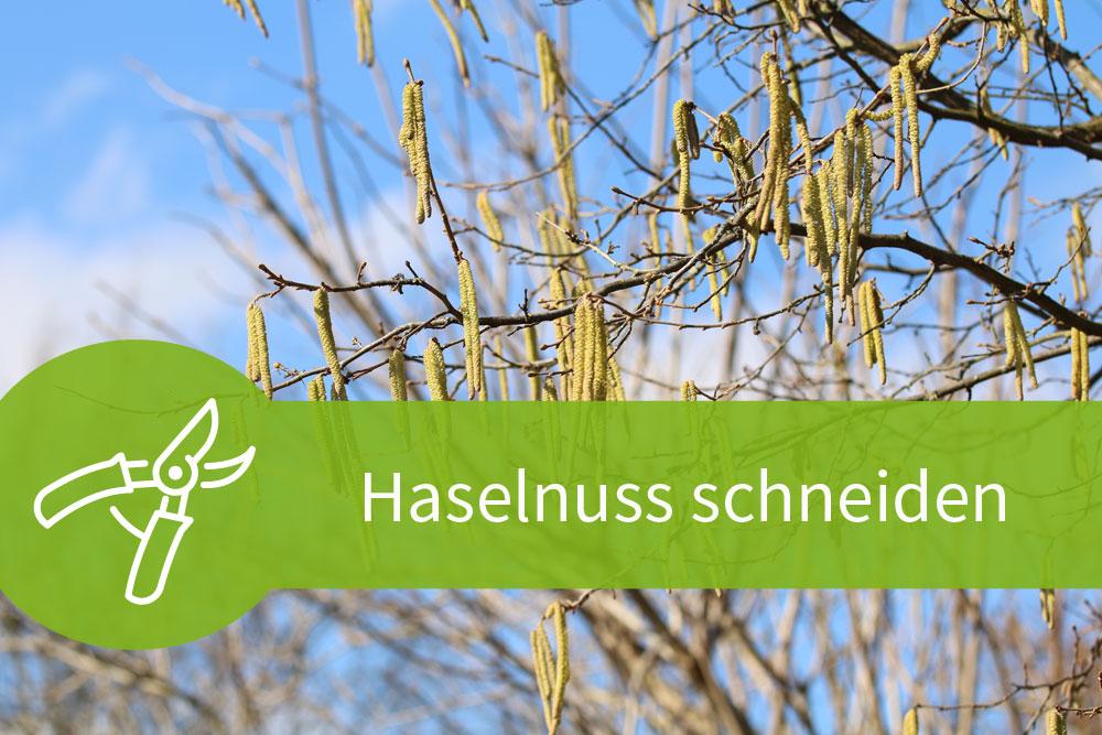Haselnuss schneiden – 3 Anleitungen für Ernte, Pflege und Wuchs