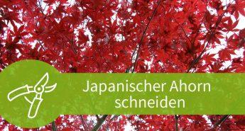 Japansicher Ahorn schneiden