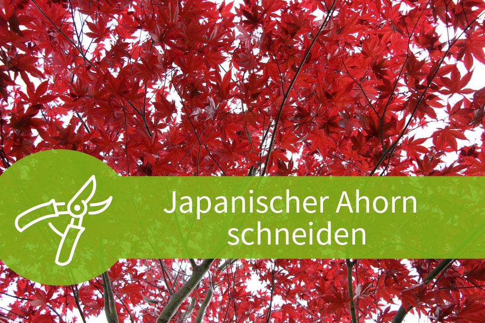 Japanischer Ahorn schneiden – Der riskante Pflanzenschnitt