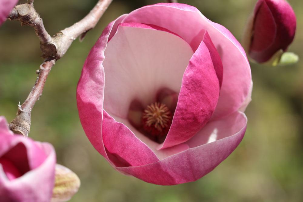 Magnolie radikal schneiden