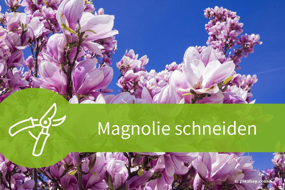 Magnolie schneiden