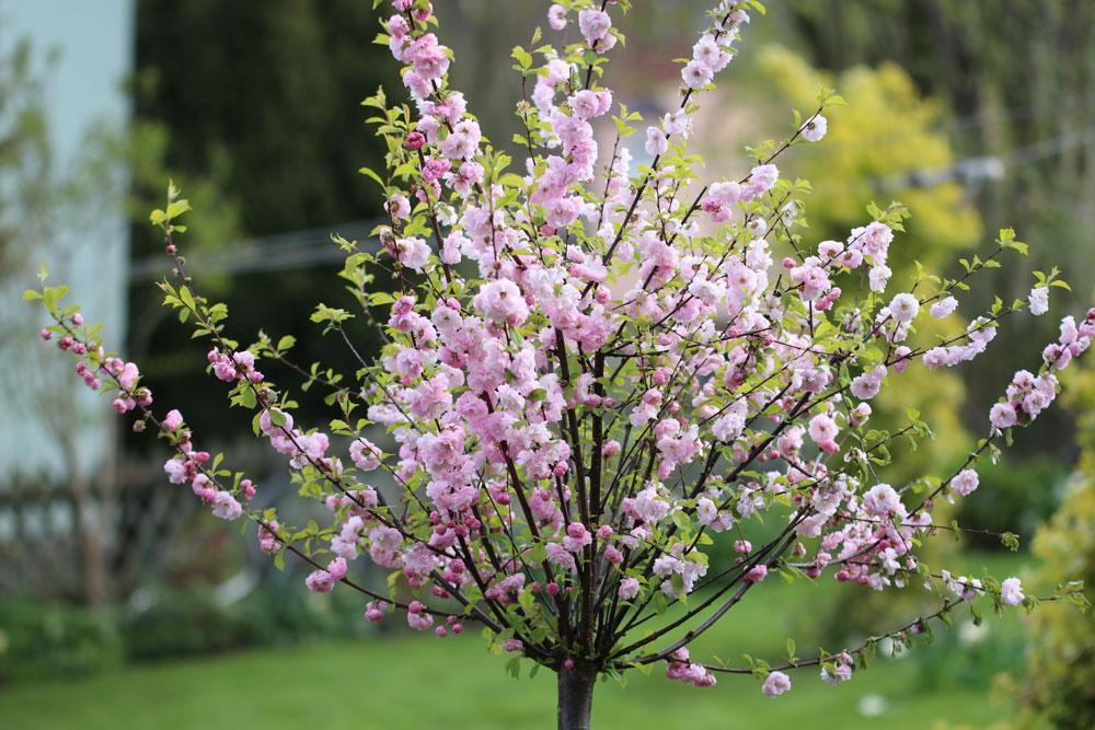Mandelbaum im Herbst schneiden