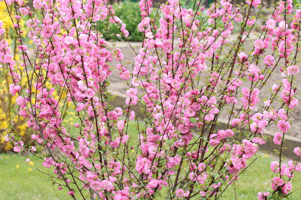 japanischen Mandelbaum schneiden