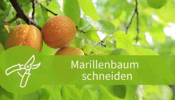 Marillenbaum schneiden